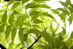 De bladeren van Neem Stock Afbeeldingen