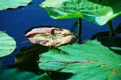 De bladeren van Nelumbonucifera Royalty-vrije Stock Foto