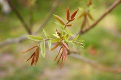 De bladeren van de okkernootboom op onscherpe achtergrond royalty-vrije stock fotografie