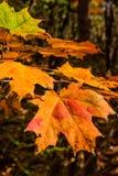 De Bladeren van oktober ` s van Esdoorn Stock Afbeelding