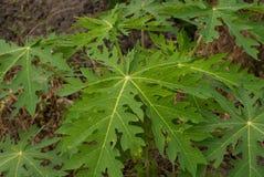 De bladeren van de papajaboom op een jonge boom stock foto's