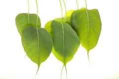 De bladeren van Peepal Stock Foto's