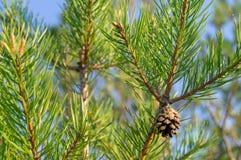 De bladeren van de pijnboomboom De naald van de pijnboomboom gaat dicht omhoog weg stock afbeelding