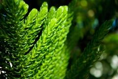 De bladeren van de pijnboomboom worden geraakt door het zonlicht Royalty-vrije Stock Foto's
