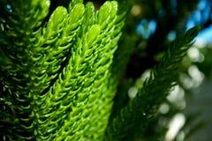 De bladeren van de pijnboomboom worden geraakt door het zonlicht Royalty-vrije Stock Fotografie
