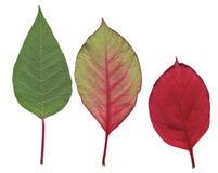 De bladeren van poinsettia stock foto