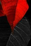 De Bladeren van poinsettia Stock Afbeelding