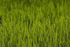 De bladeren van de rijstinstallatie met dalingen royalty-vrije stock foto