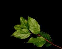 De bladeren van Salal Stock Afbeeldingen