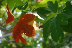 De bladeren van sassafras Stock Foto's