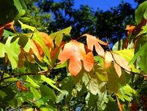 De bladeren van de Sassafrassboom in de herfst royalty-vrije stock fotografie