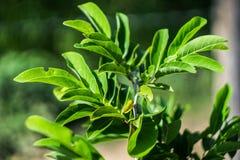 De bladeren van suiker-Apple riepen ook Sweetsop of Vla Apple Stock Foto's