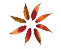 De bladeren van Sumac Royalty-vrije Stock Afbeelding