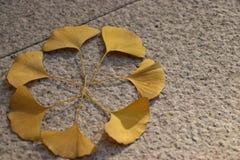 De bladeren van de verspreide ginkgoboom stock foto