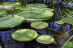 De bladeren van Victoria Amazonica op water Stock Foto's