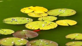 De bladeren van de waterlelie schommelen op het water stock video