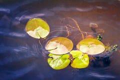 De bladeren van waterlelies op het water in de rivier Royalty-vrije Stock Afbeeldingen