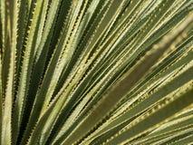 De bladeren van de yuccainstallatie Stock Afbeeldingen