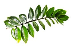 De bladeren van Zamioculcaszamifolia op witte achtergrond worden geïsoleerd die Royalty-vrije Stock Afbeelding