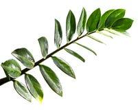 De bladeren van Zamioculcaszamifolia op witte achtergrond worden geïsoleerd die Royalty-vrije Stock Foto's