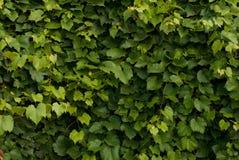 De bladerenachtergrond van de druif Royalty-vrije Stock Foto's