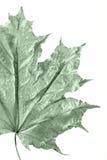 De bladerenachtergrond van de esdoorn royalty-vrije stock afbeelding