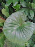 de bladerenachtergrond van de hartvorm Stock Afbeeldingen