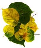 De bladerenachtergrond van de linde Stock Afbeeldingen