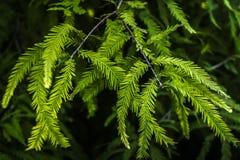 De bladerenachtergrond van de pijnboom Royalty-vrije Stock Foto's