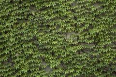 De bladerenachtergrond van de wijnstok Stock Fotografie
