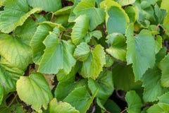 De bladerenachtergrond van de druif stock afbeeldingen