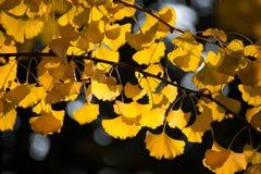 De bladerenachtergrond van Ginkgo van de herfst Royalty-vrije Stock Foto
