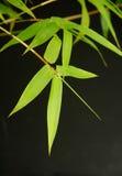 De bladerenachtergrond van het bamboe Royalty-vrije Stock Fotografie