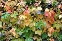 De bladerenachtergrond van de klimplantinstallatie in diverse de herfstkleuren royalty-vrije stock foto's