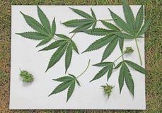 De Bladerencanvas van de marihuanacannabis op Groen gras Stock Afbeelding