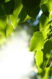 De bladerenclose-up van de linde Royalty-vrije Stock Afbeelding