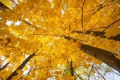 De bladerendaling van de de herfstesdoorn Royalty-vrije Stock Fotografie
