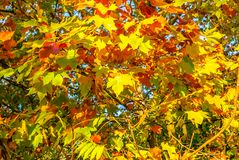 De bladerenesdoorn van de herfst tegen de blauwe hemel stock foto's