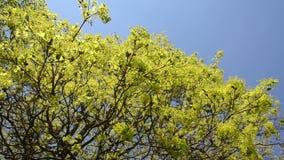 De bladerenknoppen en bloei van de esdoornboom op blauwe hemel in de lente stock videobeelden