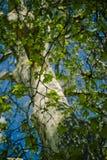 De bladerenmening van de boom stock afbeeldingen