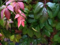 De bladerentextuur van de de herfstdruif Royalty-vrije Stock Foto