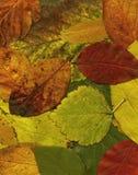 De bladerenXxl- dossier van de herfst Stock Afbeeldingen