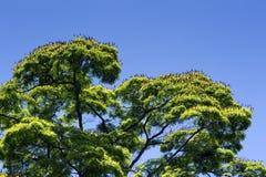 De bladsibipirunaboom in bloei onder de blauwe hemel Royalty-vrije Stock Foto