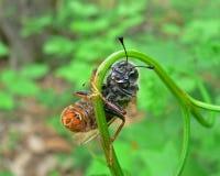 De Bladwesp van het insect (Cimbicidae) Royalty-vrije Stock Foto