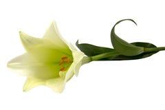 De blanc fleur lilly Photographie stock