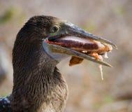 De blauw-betaalde domoor eet pijlinktvis De eilanden van de Galapagos vogels ecuador Stock Foto