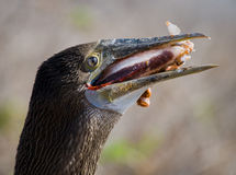De blauw-betaalde domoor eet pijlinktvis De eilanden van de Galapagos vogels ecuador Royalty-vrije Stock Foto's