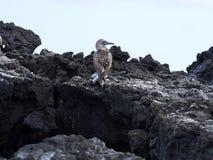 De blauw-betaalde domoor, Sula-nebouxiiexcisa, reinigt de veren op de klip van Isabela ` s, de Galapagos, Ecuador Royalty-vrije Stock Afbeeldingen