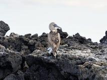De blauw-betaalde domoor, Sula-nebouxiiexcisa, reinigt de veren op de klip van Isabela ` s, de Galapagos, Ecuador Stock Fotografie
