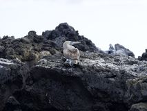 De blauw-betaalde domoor, Sula-nebouxiiexcisa, reinigt de veren op de klip van Isabela ` s, de Galapagos, Ecuador Royalty-vrije Stock Foto